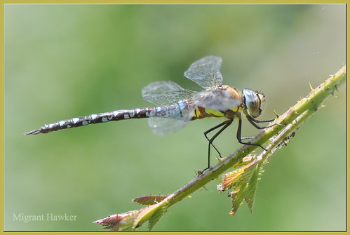 Migrant Hawker (Aeshna mixta)