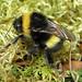 Bombus magnus (Northern White-tailed Bumblebee)