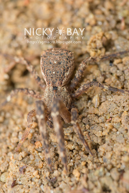 Crab Spider (Thomisidae) - DSC_4702