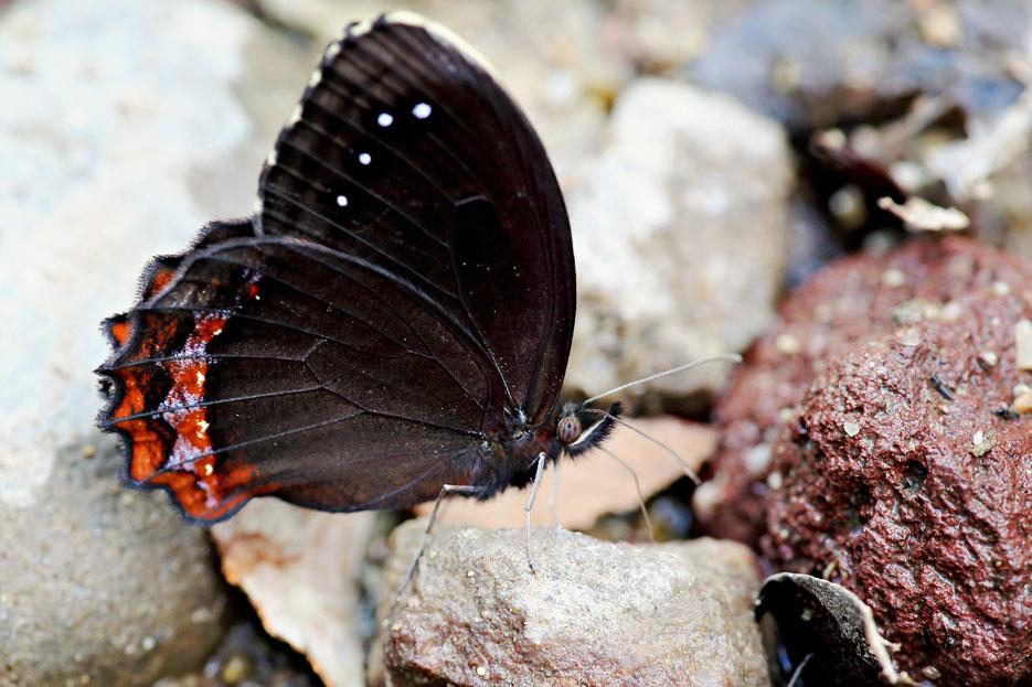 090312_02_butterfly_redBoarderedSatyr