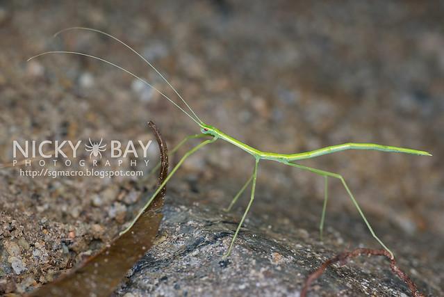 Stick Insect (Phasmatodea) - DSC_4151