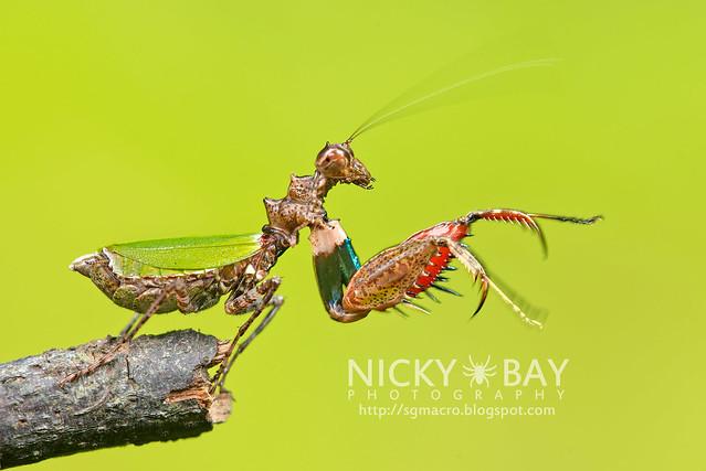 Pachymantis bicingulata - DSC_0681
