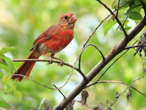 Northern Cardinal 20120808