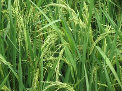 prairie, agriculture, triticale, field, grass, plant, chrysopogon zizanioides, hierochloe, green, paddy field, crop, meadow, plant stem, grassland,