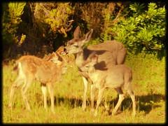 Mamma deer kissing fawn