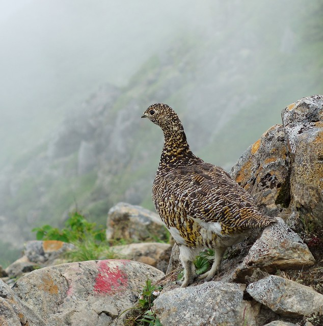 Mountain wildlife - raicho - ptarmigan