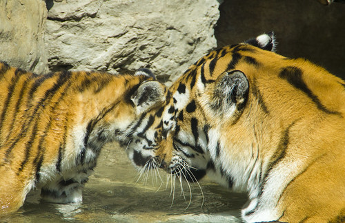 Tiger cub and mom