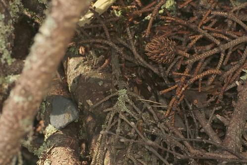 ヘリグロアオカミキリ