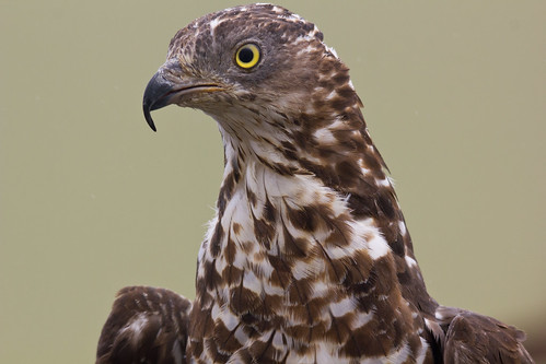 Honey Buzzard... Pernis apivorus
