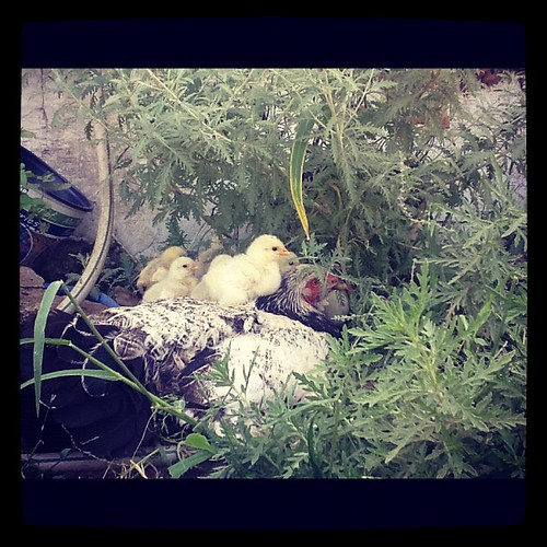 Mama and chicks venture outside for first time