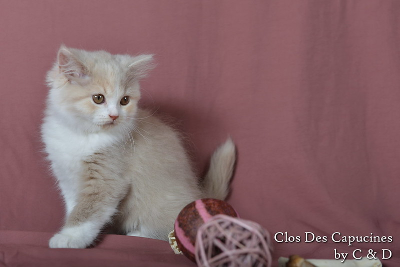 chaton british longhair fawn tortie et blanc