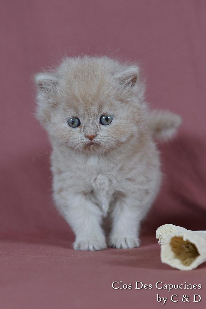 Hortense du Clos des Capucines, chaton femelle British Longhair fawn 1 mois