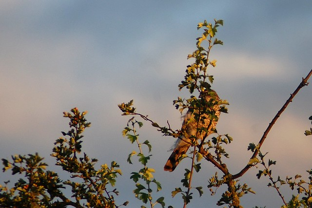 A sparrowhawk sitting in the branches at the top of a tree, washed in golden light.