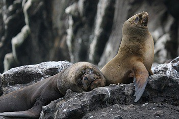 Swimming with sea lions in Peru with Nature Expeditions (5)