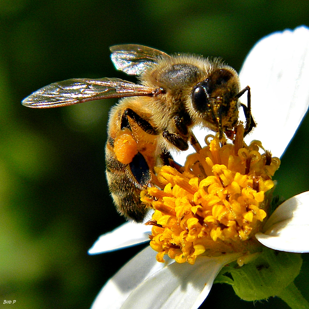 honey bees endangered - HD1024×1024