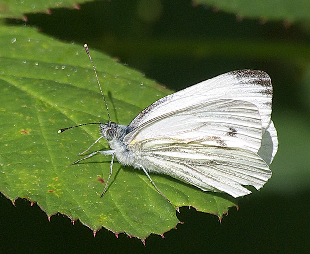 DSC_4473 SMall White butterfly