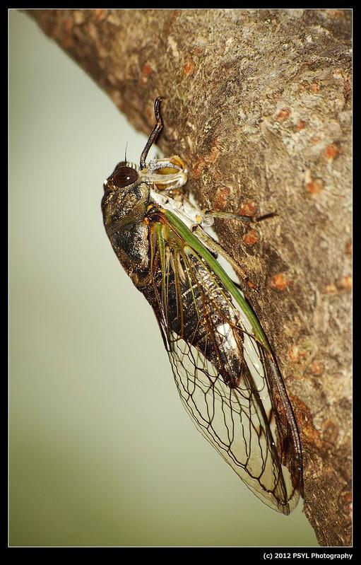 Dogday Harvestfly Cicada (Tibicen canicularis)