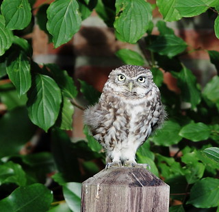 Steenuil - Little Owl (Athene noctua)