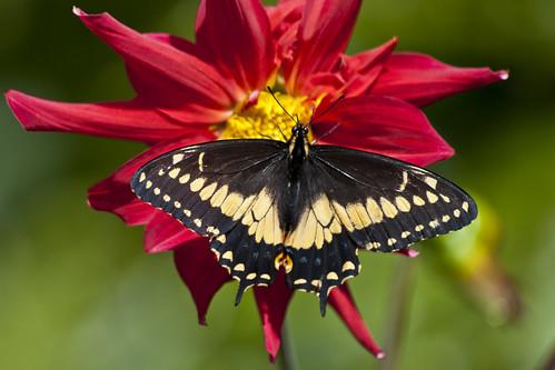 Papilio polixenes americus (Black swallowtail)