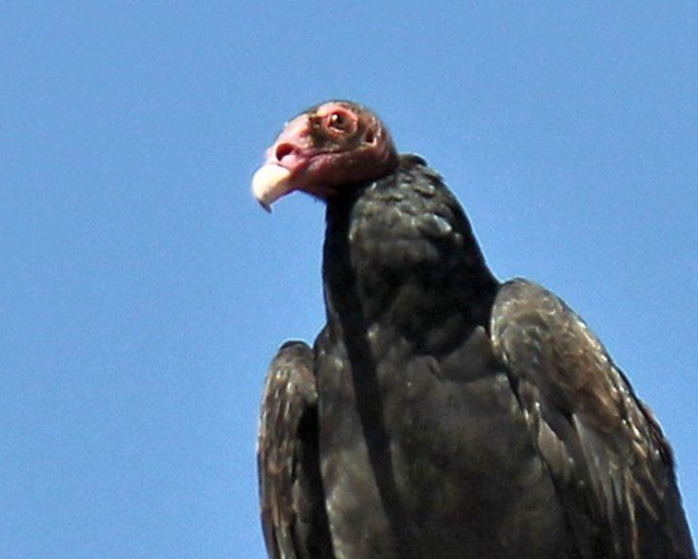 Turkey Vulture | Flickr - Photo Sharing!