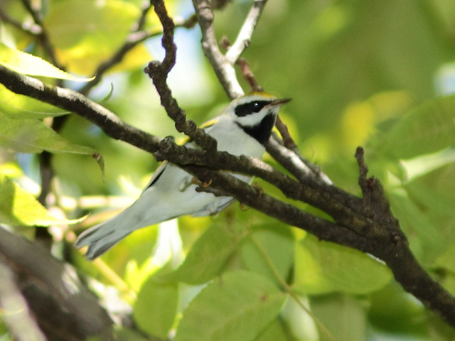 Golden-winged Warbler 2-20120906