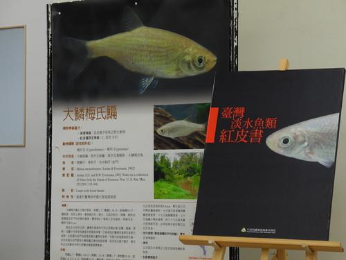 最近發表的台灣淡水魚紅皮書,揭露台灣原生淡水魚不為人知的處境。