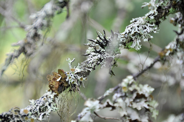 Lichen-on-branches