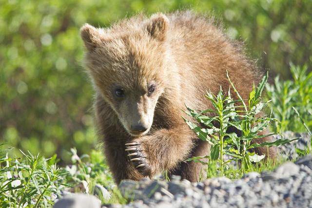 Cachorro de oso grizzly - Parque Nacional Denali - Alaska