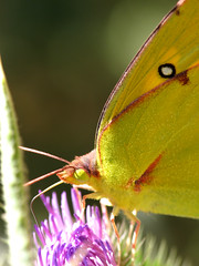 California Dogface - Butterfly