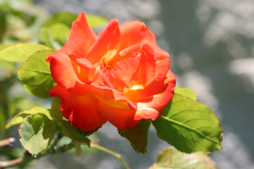 Orange Red Rose
