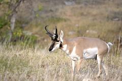 animal, prairie, antelope, mammal, horn, fauna, white-tailed deer, pronghorn, grassland, safari, wildlife,