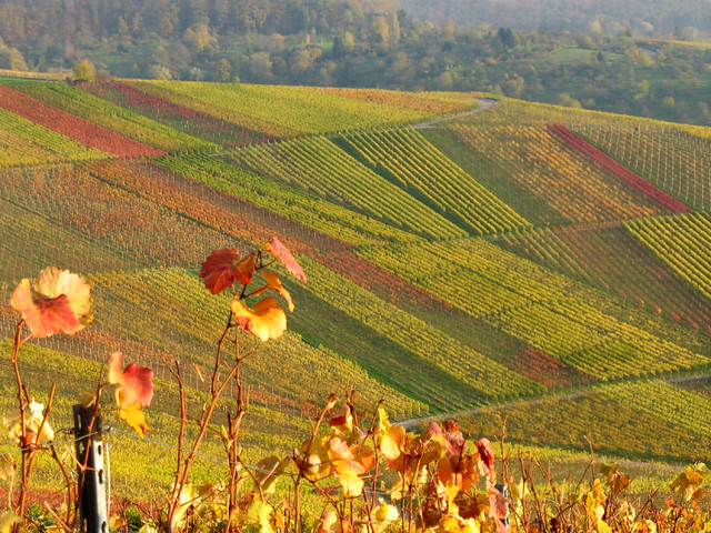 Multicolored Fall Vineyard