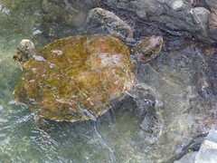 animal, turtle, reptile, loggerhead, marine biology, fauna, common snapping turtle, emydidae, wildlife, sea turtle,
