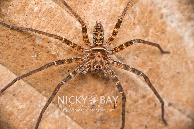 Huntsman Spider (Sparassidae) - DSC_5158