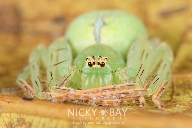 Huntsman Spider (Sparassidae) - DSC_3695
