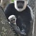 Colobus Monkey with baby (Tim Melling)
