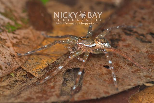 Fishing Spider (Dolomedes sp.) - DSC_2732