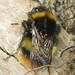 Bombus pratorum (Early Bumblebee)