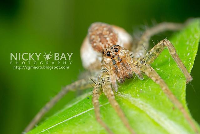 Wolf Spider (Lycosidae) - DSC_0738