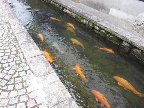 Koi fish in Hida Furukawa