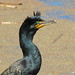 Double Crested Cormorant 0157 by Ethan.Winning