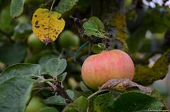 Septembre, le mois des pommes