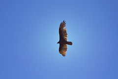 turkey vulture overhead