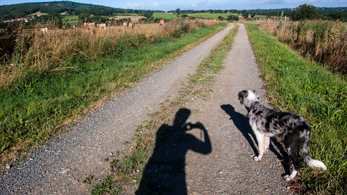 France, border pup watching the neighbouring cows