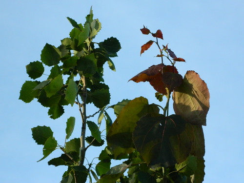 Large new leaves appear at top of Polplar Tremular