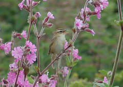 Sedge Warbler singing amongst Red Campion near the old farm
