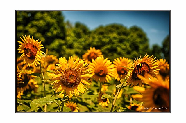 Sunflower 2012 4