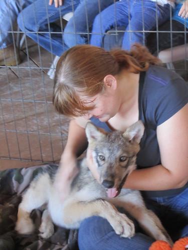 wolf puppy 1