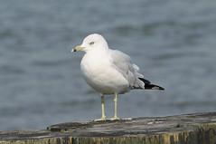 Sea Gull 0941 New York