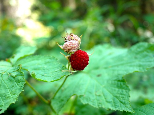 Thimble berry, Inside North Fork Road